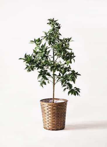 かぼすの木 8号 竹バスケット 付き