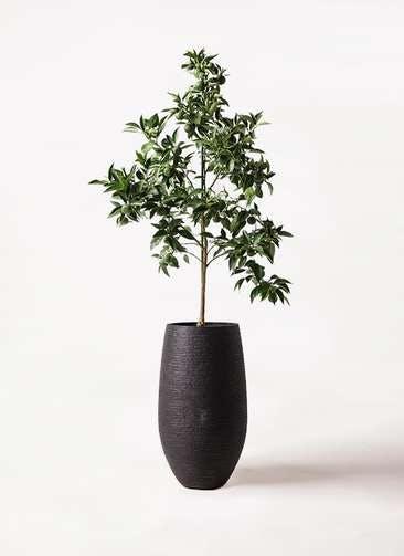 かぼすの木 8号 フォンティーヌトール 黒 付き