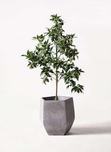 かぼすの木 8号 ファイバークレイ Gray 付き