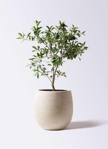 柚子 (ゆず)の木 8号 テラニアス バルーン アンティークホワイト 付き