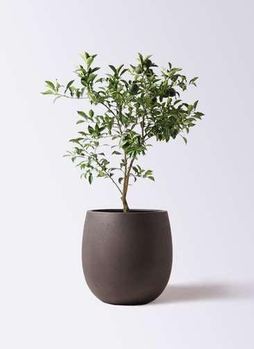 柚子 (ゆず)の木 8号 テラニアス バルーン アンティークブラウン 付き