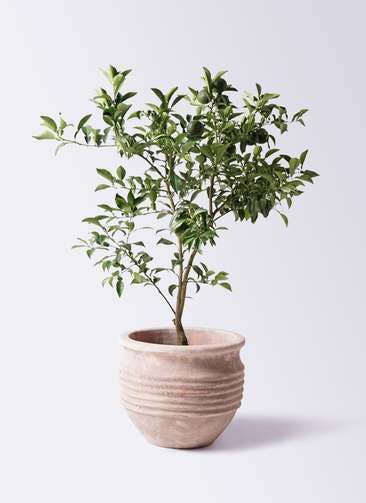 柚子 (ゆず)の木 8号 テラアストラ リゲル 赤茶色 付き