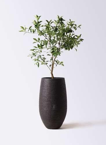 柚子 (ゆず)の木 8号 フォンティーヌトール 黒 付き