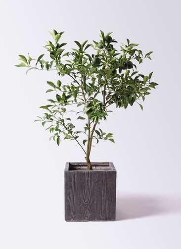 柚子 (ゆず)の木 8号 ベータ キューブプランター ウッド 茶 付き