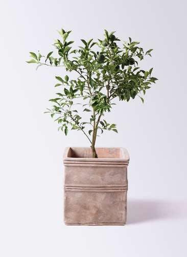 柚子 (ゆず)の木 8号 テラアストラ カペラキュビ 赤茶色 付き
