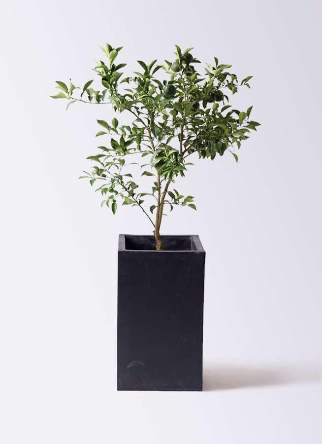 柚子 (ゆず)の木 8号 セドナロング 墨 付き