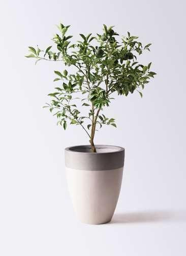 柚子 (ゆず)の木 8号 ファイバーストーンカプリ サンディホワイト 付き
