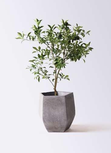 柚子 (ゆず)の木 8号 ファイバークレイ Gray 付き
