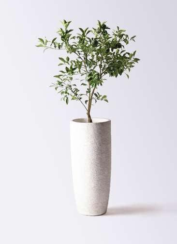 柚子 (ゆず)の木 8号 エコストーントールタイプ white 付き