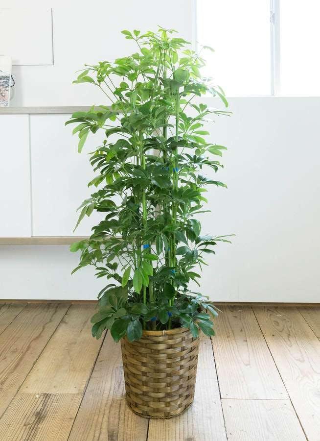 観葉植物 カポック(シェフレラ) 8号 ノーマル 竹バスケット 付き