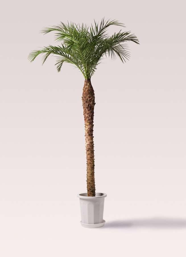 観葉植物 フェニックスロベレニー 10号 プラスチック鉢