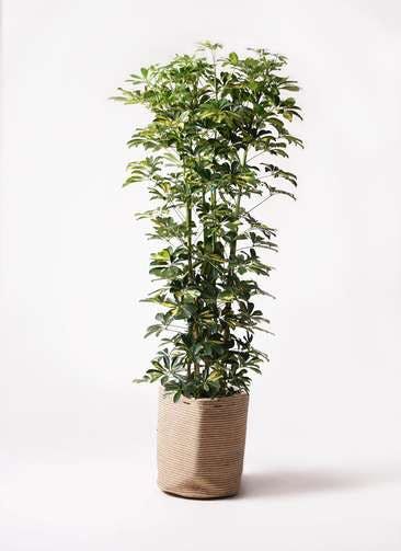 観葉植物 カポック(シェフレラ) 10号 斑入り リブバスケットNatural 付き