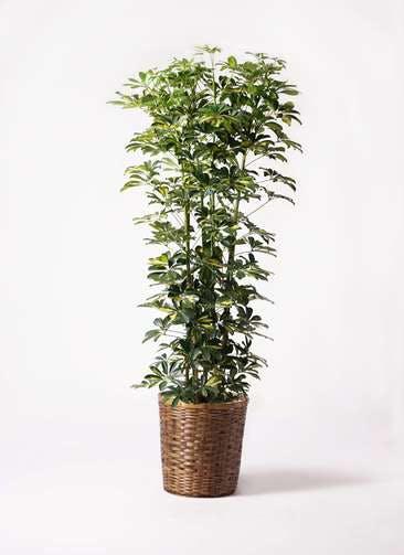観葉植物 カポック(シェフレラ) 10号 斑入り 竹バスケット 付き