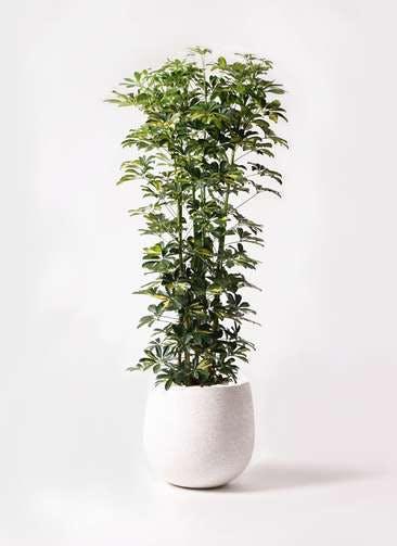 観葉植物 カポック(シェフレラ) 10号 斑入り エコストーンwhite 付き