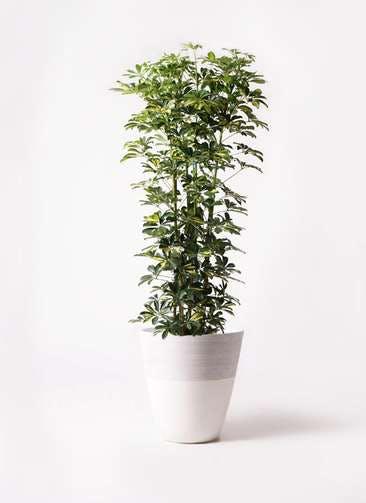 観葉植物 カポック(シェフレラ) 10号 斑入り ジュピター 白 付き