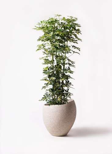 観葉植物 カポック(シェフレラ) 10号 斑入り エコストーンLight Gray 付き