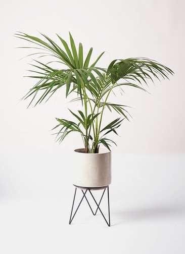 観葉植物 ケンチャヤシ 8号 ビトロ エンデカ クリーム アイアンポットスタンド ブラック 付き