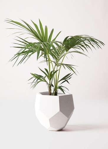 観葉植物 ケンチャヤシ 8号 ポリゴヘクサ 白 付き