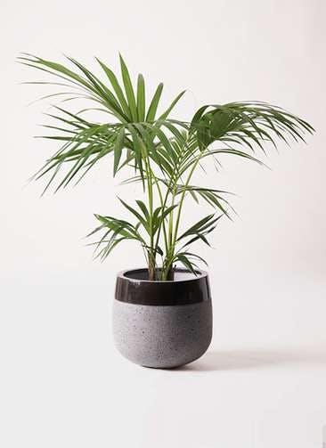 観葉植物 ケンチャヤシ 8号 ファイバーストーンタウルス 黒 付き