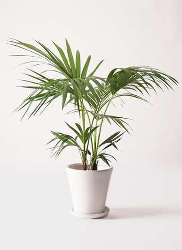 観葉植物 ケンチャヤシ 8号 サブリナ 白 付き