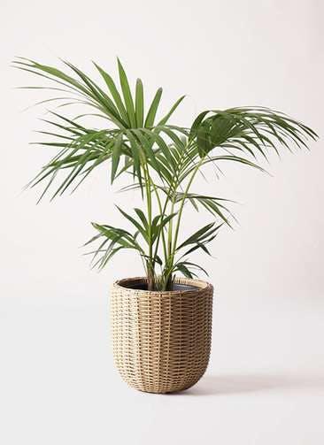 観葉植物 ケンチャヤシ 8号 ウィッカーポットエッグ ベージュ 付き