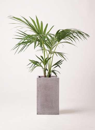 観葉植物 ケンチャヤシ 8号 セドナロング グレイ 付き