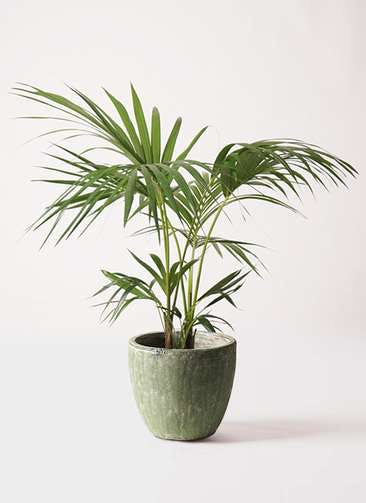 観葉植物 ケンチャヤシ 8号 アビスソニアミドル 緑 付き