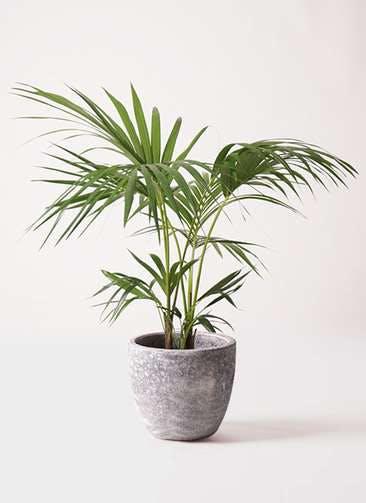 観葉植物 ケンチャヤシ 8号 アビスソニアミドル 灰 付き