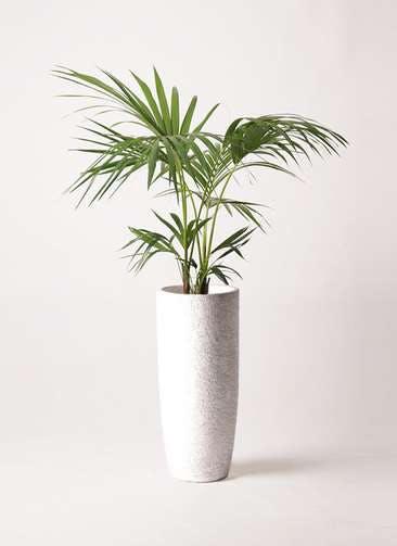 観葉植物 ケンチャヤシ 8号 エコストーントールタイプ white 付き
