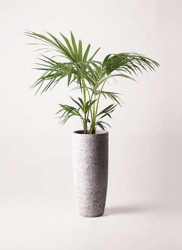 観葉植物 ケンチャヤシ 8号 エコストーントールタイプ Gray 付き