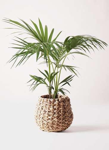 観葉植物 ケンチャヤシ 8号 ラッシュバスケット Natural 付き