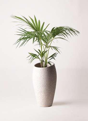 観葉植物 ケンチャヤシ 8号 エコストーントールタイプ Light Gray 付き