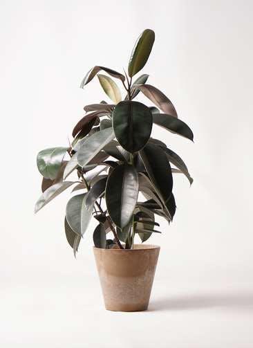 観葉植物 フィカス バーガンディ 8号 ノーマル アートストーン ラウンド ベージュ 付き