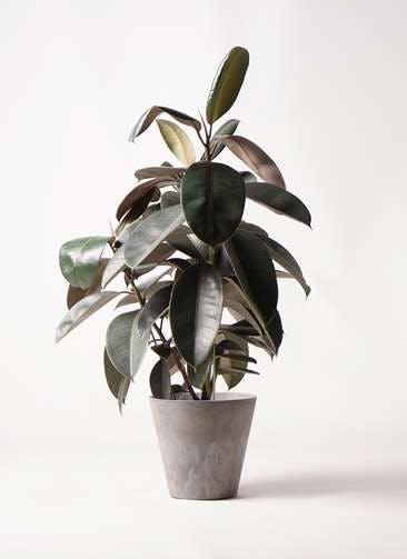 観葉植物 フィカス バーガンディ 8号 ノーマル アートストーン ラウンド グレー 付き