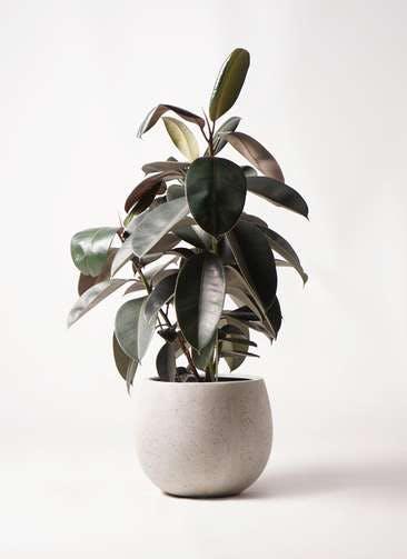 観葉植物 フィカス バーガンディ 8号 ノーマル テラニアス ローバルーン アンティークホワイト 付き