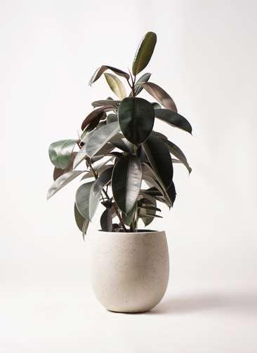 観葉植物 フィカス バーガンディ 8号 ノーマル テラニアス バルーン アンティークホワイト 付き