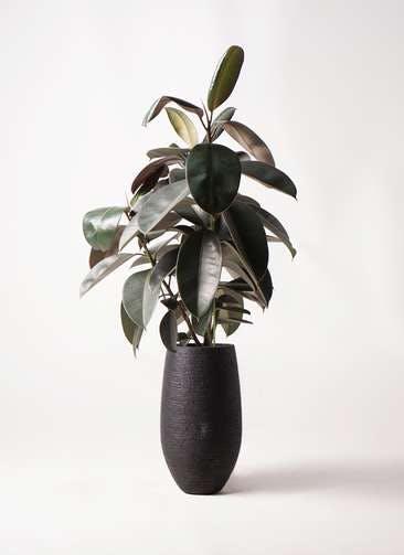 観葉植物 フィカス バーガンディ 8号 ノーマル フォンティーヌトール 黒 付き
