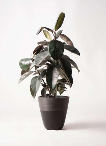 観葉植物 フィカス バーガンディ 8号 ノーマル ジュピター 黒 付き