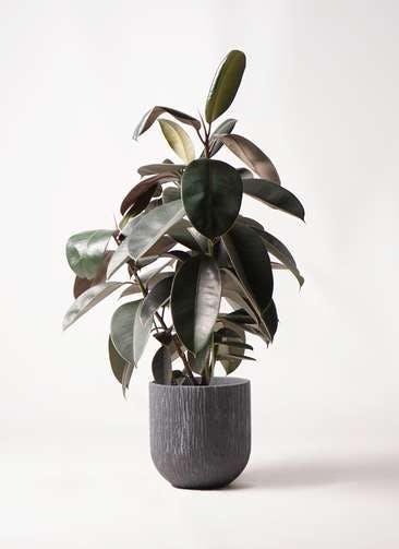 観葉植物 フィカス バーガンディ 8号 ノーマル カルディナダークグレイ 付き