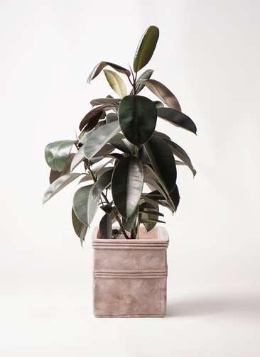 観葉植物 フィカス バーガンディ 8号 ノーマル テラアストラ カペラキュビ 赤茶色 付き