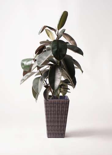 観葉植物 フィカス バーガンディ 8号 ノーマル ウィッカーポット スクエアロング OT 茶 付き