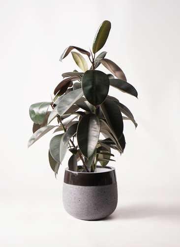 観葉植物 フィカス バーガンディ 8号 ノーマル ファイバーストーンタウルス 黒 付き