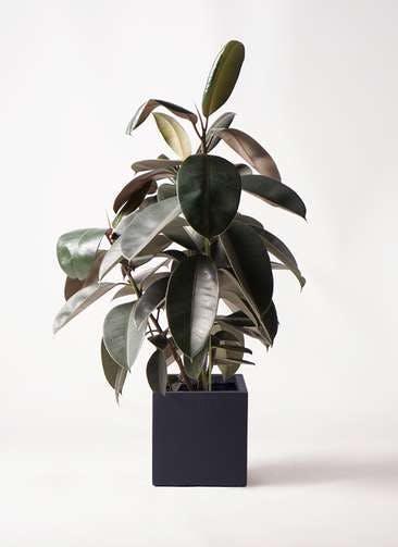 観葉植物 フィカス バーガンディ 8号 ノーマル ベータ キューブプランター 黒 付き