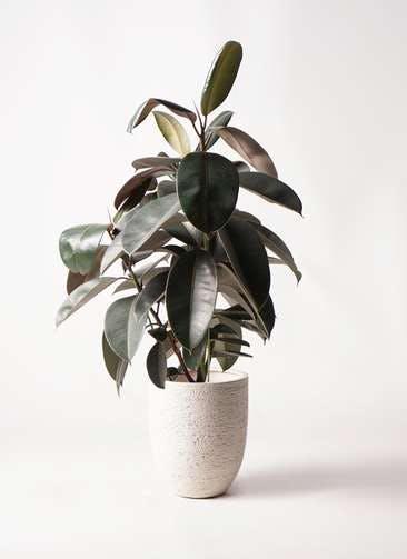 観葉植物 フィカス バーガンディ 8号 ノーマル ビアスアルトエッグ 白 付き