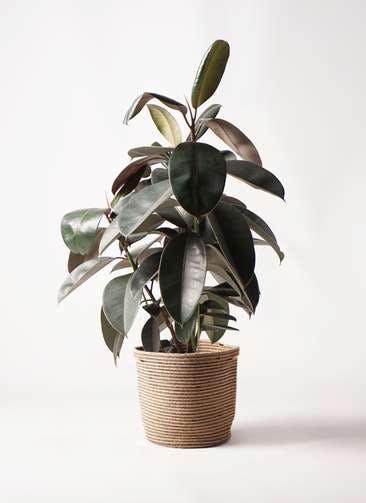 観葉植物 フィカス バーガンディ 8号 ノーマル リブバスケットNatural 付き