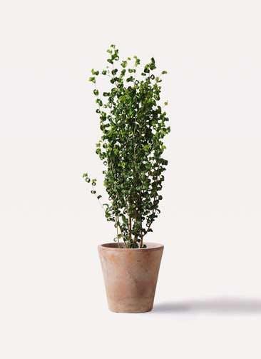 観葉植物 フィカス ベンジャミン 7号 バロック ルーガ アンティコ ソリッド 付き