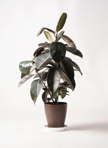 観葉植物 フィカス バーガンディ 8号 ノーマル プラスチック鉢