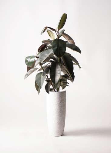 観葉植物 フィカス バーガンディ 8号 ノーマル エコストーントールタイプ white 付き
