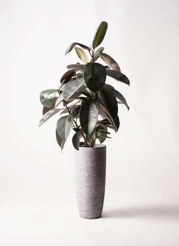 観葉植物 フィカス バーガンディ 8号 ノーマル エコストーントールタイプ Gray 付き
