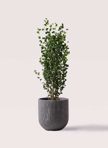 観葉植物 フィカス ベンジャミン 7号 バロック カルディナダークグレイ 付き